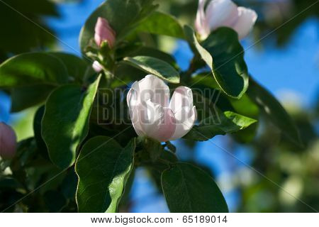 Light Pink Flowers And Dark Quince Leaves
