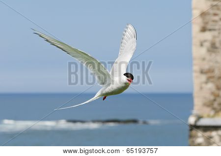 Arctic Tern Flies In