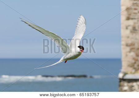 Arctic Tern Flies In