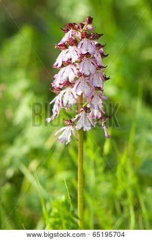Orchis Purpurea Orchid
