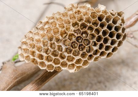 Nest Of Wasp
