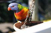 stock photo of lorikeets  - Colorful Australian rainbow lorikeet sitting on a feeder - JPG