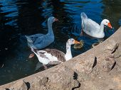 stock photo of threesome  - Threesome of geese and their young in the blue pond - JPG