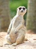 stock photo of meerkats  - lovely meerkat standing and looking out at zoo - JPG