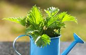 stock photo of nettle  - Nettles in a blue watering can on a marble table - JPG