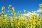 foto of rape-seed  - Rape seed flowers at a blue sky with white clouds - JPG
