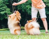 stock photo of pomeranian  - Pomeranian dog standing on its hind legs to get a treat from owner - JPG
