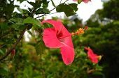 picture of plant species  - Hibiscus is a genus of flowering plants in the mallow family - JPG