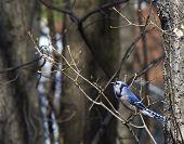 stock photo of blue jay  - blue jay perching on a tree edge - JPG