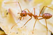 image of mandible  - Close up of red weaver ant with wide open mandibles and ready to attack - JPG