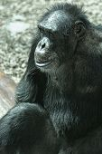picture of chimp  - Alone adult chimp sitting and thinking - JPG