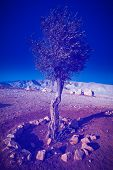 picture of samaria  - Olive on the Slopes of the Mountains of Samaria Photo Filter - JPG
