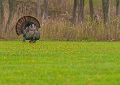 pic of wild turkey  - Strutting male wild turkey displaying in the spring mating season - JPG