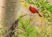 stock photo of cardinal  - A Male Cardinal perched on a tree branch - JPG