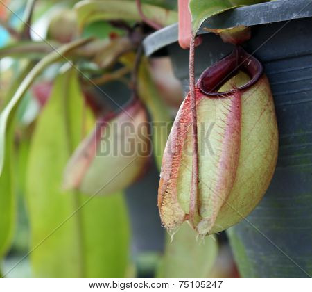 Nepenthes With Blurred Background
