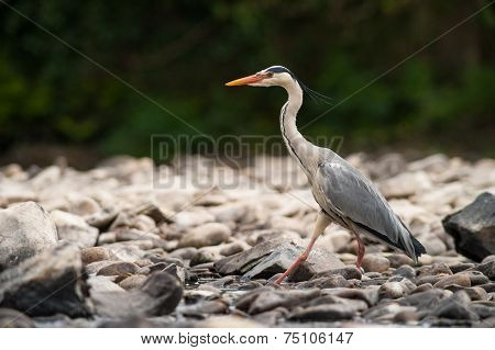 Grey Heron walking over rocks