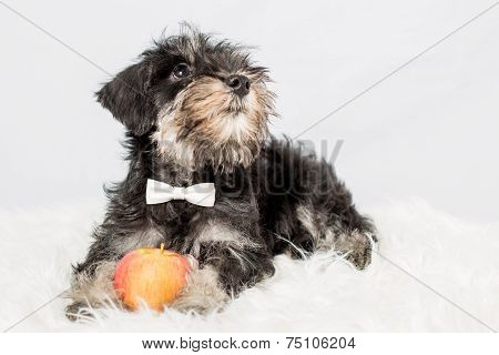 Portrait Puppy Miniature Schnauzer Black Isolated
