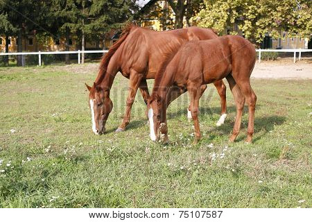 Thoroughbred mare and foal grazing in pasture following mother 	Thoroughbred mare and foal grazing