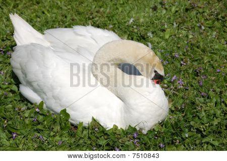 preening swan