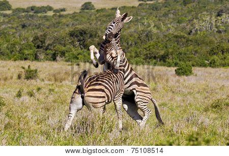 Biting Zebras