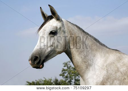 Portrait of an beautiful arabian grey horse