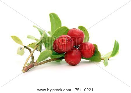 Twig Of Lingonberry With Drops