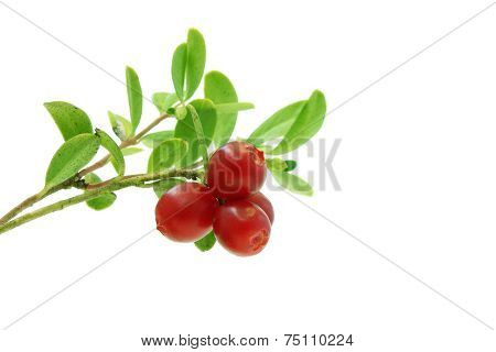Lingonberry Branch