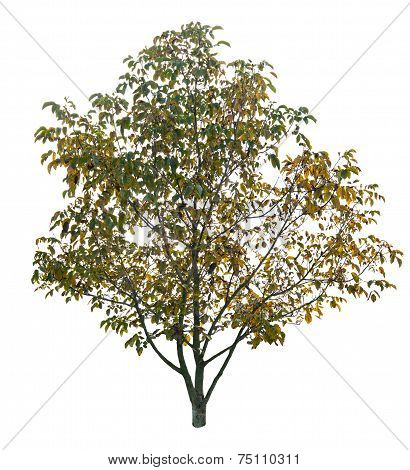 Autumn Walnut Tree
