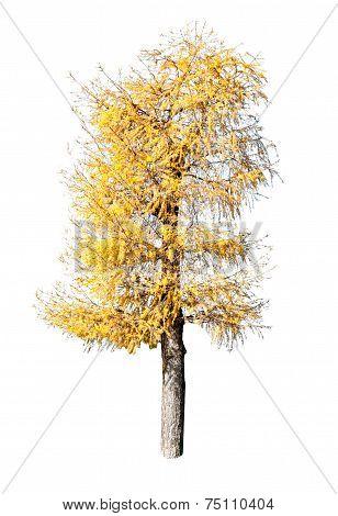 Yellow larch Tree