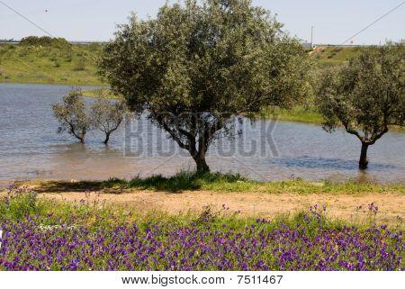Oliva's Trees