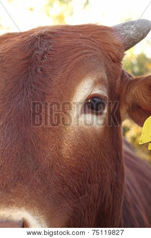 Closeup Of Zebu Eye