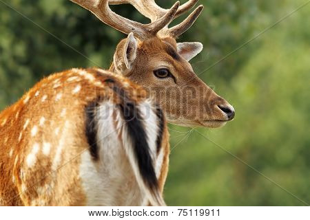 Fallow Deer Stag Close Up