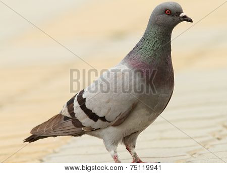 Feral Pigeon On Urban Street