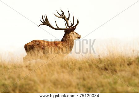 Red Deer Stag In Big Grass