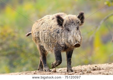 Wild Boar Coming Towards Camera