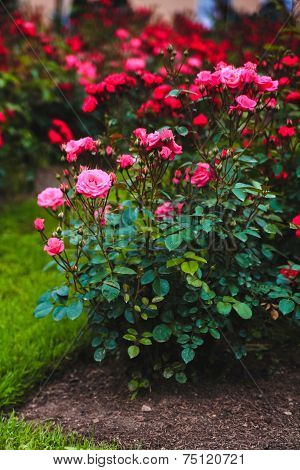 rose, shrub roses, flowers