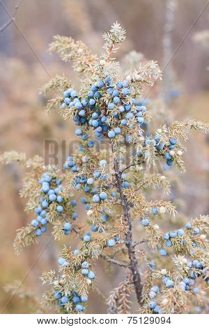 Blue Juniper On Bush