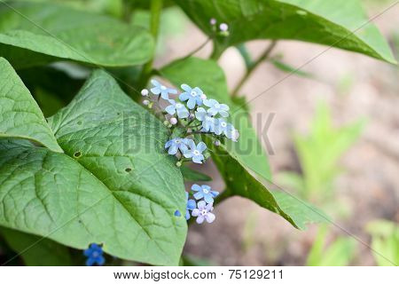 Forget-me-flowers
