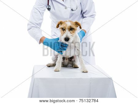 Female veterinarian examining dog isolated