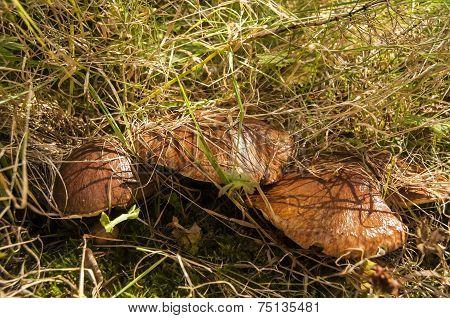 Suillus luteus mushroom