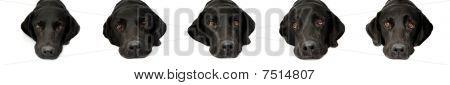 Expressions Of A Labrador