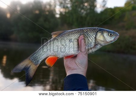 Chub in fisherman's hand, slight soft focus effect