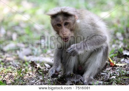 Bonnet Macaque In Kerala