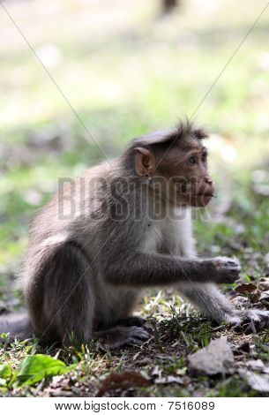 Bonnet Macaque Feeding