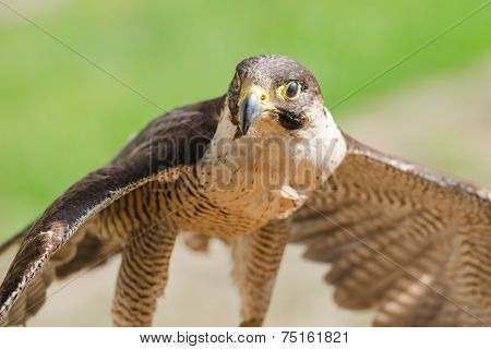 Small But Fast Predator Bird Falcon Or Hawk