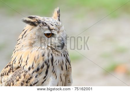 Profile Portrait Of Night Quiet Eagle-owl Or Bubo