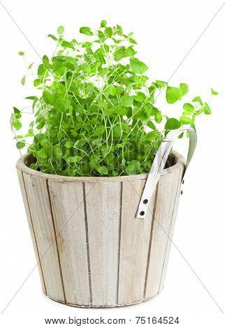 Marjoram In Planting Pot On White