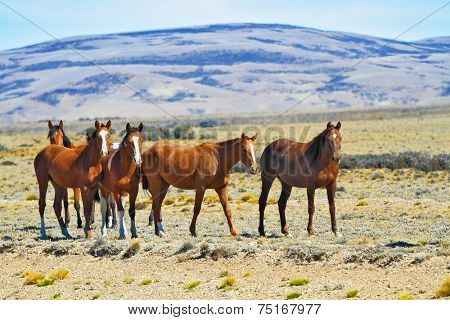 Herd of mustangs magnificent bay. Argentina. Patagonian prairie on a summer day