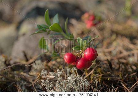Lingonberry Bush