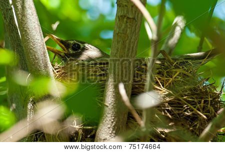 Robin Red Breast In A Nest In A Dogwood Tree